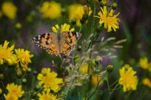 Ein Schmetterling auf einer Blume in Bad Belzig